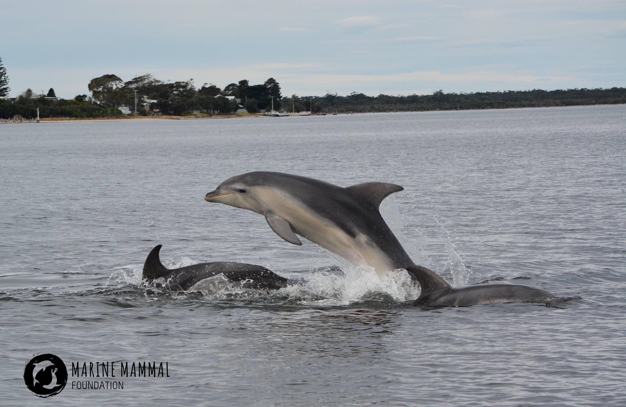 Burranan dolphin in Gippsland Lakes