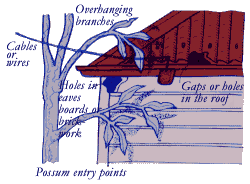 Possums can enter houses via overhanging branches, gaps in the roofing or holes in the eaves