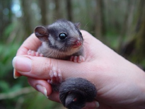 Leadebeater's possum held in a human hand. It is small, with a long tail.